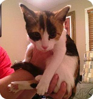 Domestic Shorthair Kitten for adoption in Nashville, Tennessee - Chloe the Callie