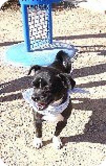 Boston Terrier Mix Dog for adoption in Las Vegas, Nevada - Boston