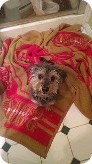 Silky Terrier/Schnauzer (Miniature) Mix Dog for adoption in Simi Valley, California - Riley