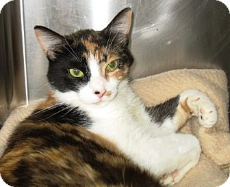 Domestic Shorthair Cat for adoption in Oakland, California - Fiona