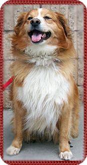 Nova Scotia Duck-Tolling Retriever/Collie Mix Dog for adoption in Kirkland, Quebec - Ducky
