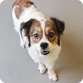 Spaniel (Unknown Type) Dog for adoption in Atlanta, Georgia - Gadget