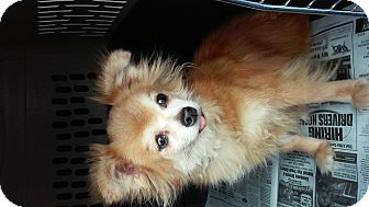 Pomeranian/Chihuahua Mix Dog for adoption in Houston, Texas - PETUNIA ( Adoption Pending )