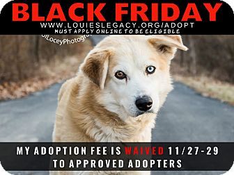 Siberian Husky/Labrador Retriever Mix Dog for adoption in Cincinnati, Ohio - Damon WAIVED FEE/BLACK FRIDAY
