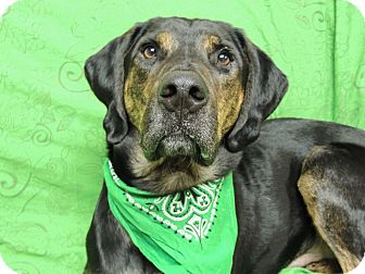 Coonhound Mix Dog for adoption in Quincy, Illinois - Tracker