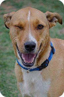 Greater Swiss Mountain Dog/Australian Shepherd Mix Dog for adoption in Midland, Texas - Banner