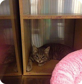Domestic Shorthair Kitten for adoption in San Leandro, California - Ike