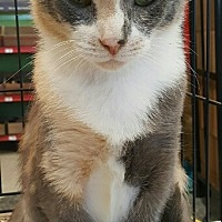 Calico Cat for adoption in Lyons, Illinois - Eva