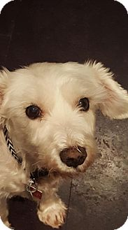 Miniature Schnauzer/Poodle (Miniature) Mix Dog for adoption in Barrie, Ontario - Candy