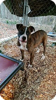 Boxer/American Staffordshire Terrier Mix Puppy for adoption in Ellaville, Georgia - Leah