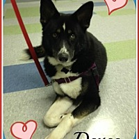 Husky/Border Collie Mix Dog for adoption in Raleigh, North Carolina - Deuce