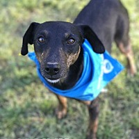 Manchester Terrier Mix Dog for adoption in E. Greenwhich, Rhode Island - Manny