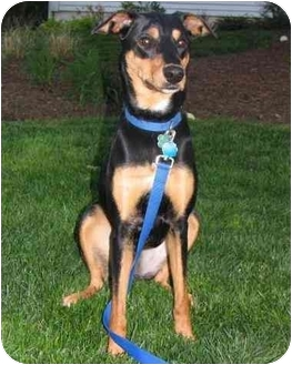 Doberman Pinscher Mix Dog for adoption in Stafford, Virginia - Lolly