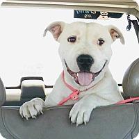 Adopt A Pet :: Willow - Benton City, WA