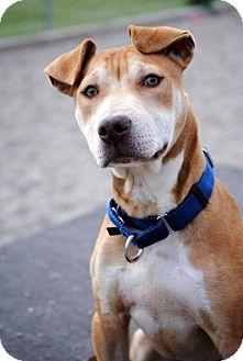 Pit Bull Terrier Mix Dog for adoption in Fargo, North Dakota - Oats