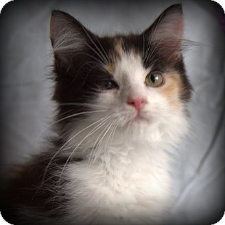 Calico Kitten for adoption in Allentown, Pennsylvania - Sherry
