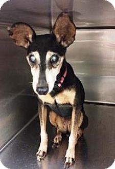 Miniature Pinscher Mix Dog for adoption in Goodyear, Arizona - Carley