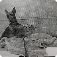 Adopt A Pet :: Toffee - Las Vegas, NV