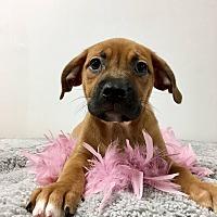 Adopt A Pet :: Geena - Joliet, IL