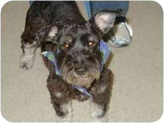 Schnauzer (Standard) Dog for adoption in Cincinnati, Ohio - Autumn