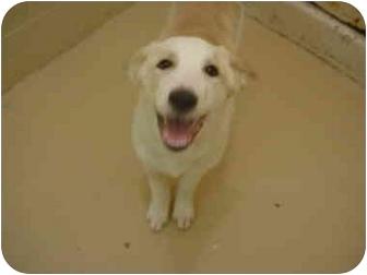Australian Shepherd/Spaniel (Unknown Type) Mix Puppy for adoption in Northville, Michigan - Dakota