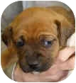 Boxer/Shepherd (Unknown Type) Mix Puppy for adoption in Mt. Prospect, Illinois - Mary