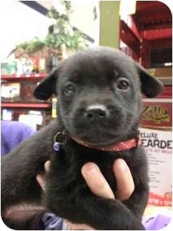 Shepherd (Unknown Type)/Terrier (Unknown Type, Medium) Mix Puppy for adoption in Detroit, Michigan - Sharon