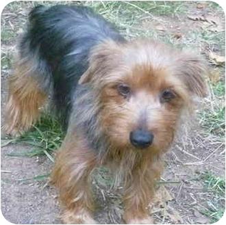 Yorkie, Yorkshire Terrier Dog for adoption in Greensboro, North Carolina - Gracie