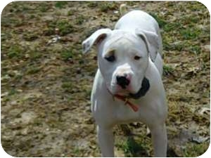 American Bulldog Dog for adoption in Hillsboro, Missouri - Jade