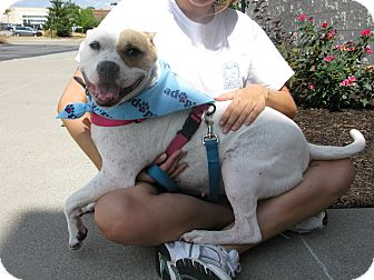 American Bulldog/American Staffordshire Terrier Mix Dog for adoption in Indianapolis, Indiana - Chloe