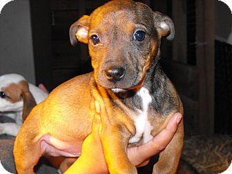 Chihuahua/Corgi Mix Puppy for adoption in Alamosa, Colorado - Chewy