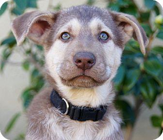 German Shepherd Dog Puppy for adoption in Thousand Oaks, California - Nicholas
