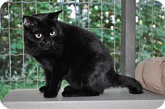 Manx Cat for adoption in Maple Ridge, British Columbia - Josephine
