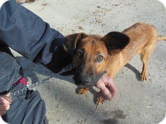 German Shepherd Dog Puppy for adoption in Cincinnati, Ohio - Drake