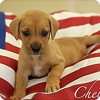 Adopt A Pet :: Chelsie - Albany, NY