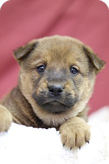 Chow Chow Mix Puppy for adoption in Waldorf, Maryland - Nakita