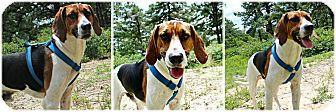 Foxhound Dog for adoption in Forked River, New Jersey - Clyde
