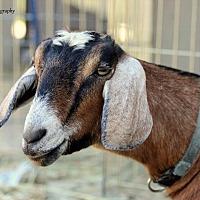 Adopt A Pet :: Ipanema - Mead, WA