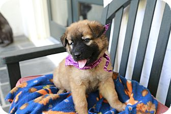 German Shepherd Dog Mix Puppy for adoption in HARRISBURG, Pennsylvania - CARLY