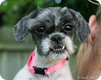 Shih Tzu Mix Dog for adoption in Wethersfield, Connecticut - Edie (Adoption Pending)