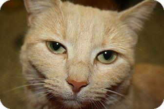 Domestic Shorthair Cat for adoption in Gettysburg, Pennsylvania - Sunshine