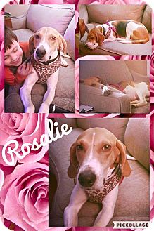 Treeing Walker Coonhound Mix Dog for adoption in waterbury, Connecticut - Rosalie