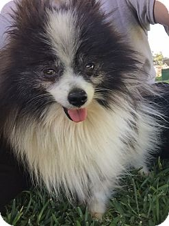 Pomeranian Mix Dog for adoption in Austin, Texas - Domino