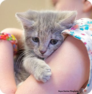 Domestic Shorthair Kitten for adoption in Chattanooga, Tennessee - Tyra