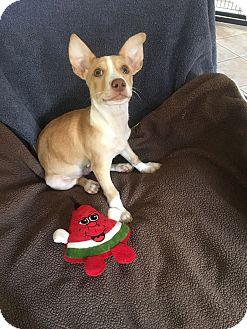 Corgi Mix Puppy for adoption in Mesa, Arizona - KODY 2 MO CORGI MIX MALE