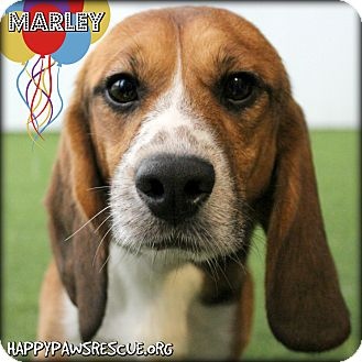 Beagle Dog for adoption in South Plainfield, New Jersey - Marley
