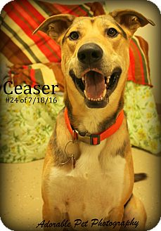 German Shepherd Dog/Husky Mix Dog for adoption in Gaylord, Michigan - Ceasar