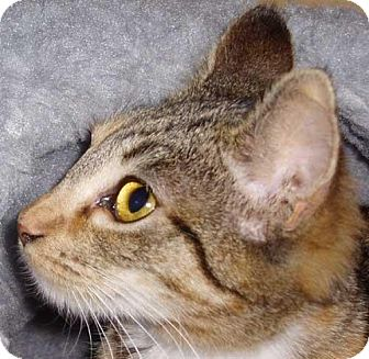 Domestic Shorthair Cat for adoption in Garland, Texas - Bow