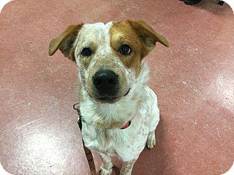 Australian Cattle Dog/Setter (Unknown Type) Mix Dog for adoption in Tioga, Pennsylvania - Hobo
