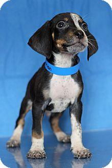 Coonhound Mix Puppy for adoption in Waldorf, Maryland - Herman